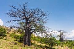 Suarez Baobab Stock Photography