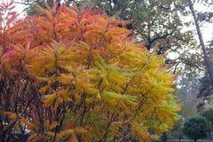 Suas folhas têm uma coloração maravilhosa do outono, as cores passam lisamente do amarelo aos carmesins foto de stock