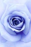 Suavemente el azul se levantó Imagen de archivo