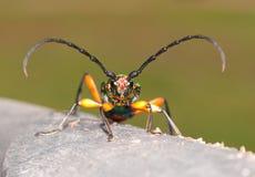 Suaveolens de Plinthocoelium, un escarabajo longhorned grande, iridiscente Fotos de archivo libres de regalías