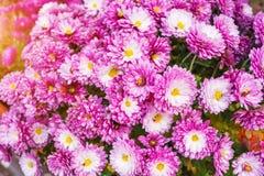Suavidad borrosa de las flores de los crisantemos Foto de archivo