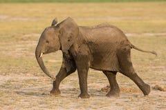 Sub Adult African Elephant running in Amboseli, Kenya Royalty Free Stock Image