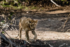 Sub-adult cub of Asiatic Lion Stock Photography