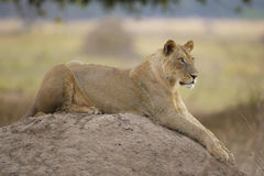 Sub-adult Lion (Panthera leo) lying on top of a termite mound. On the look out Stock Photography
