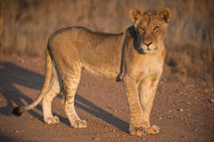 Sub Adult Lioness Royalty Free Stock Photography