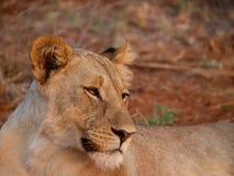 Sub-adult lioness Stock Photos