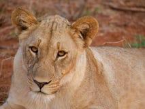 Sub-adult lioness Stock Image