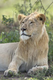 Sub adult, Male African Lion (Panthera leo) Tanzania Stock Photo