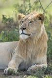 Sub adult, Male African Lion (Panthera leo) Tanzania. Male sub adult African Lion, (panthera leo), Ndutu, Serengeti, Tanzania Stock Photo