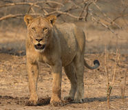 Sub-adult male lion (Panthera leo). By a Common Eland kill Royalty Free Stock Photography