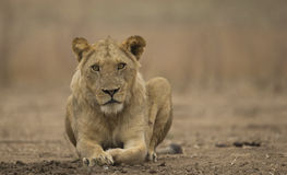 Sub-adult male lion (Panthera leo). Looking at the camera Stock Photography