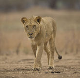 Sub-adult male lion (Panthera leo). Too close for comfort Royalty Free Stock Photos