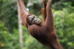 Sub-adult Male Orang-Utan Royalty Free Stock Images