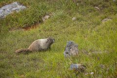 Sub-alpine meadow enviornment with marmot. Andlarge stones stock images