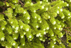 Sub Alpine Spruce Stock Photo