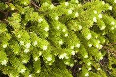 Sub Alpine Spruce. Detail of Sub Alpine Spruce tree in Glacier National Park Stock Photo