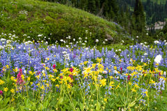 Sub Alpine Wildflowers. Close up of a patch of a variety of sub alpine wildflowers in Mount Rainier National Forest, Washington State. Copy space Royalty Free Stock Photo