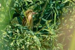Subadult giallo del tarabuso fotografia stock libera da diritti