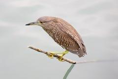 Subadult night heron. Standing on a branch Stock Photo
