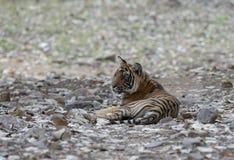 Subadult Tiger at Ranthambhore National park,Rajasthan,India. Asia royalty free stock images