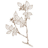 subafzeliana de rosa Image stock