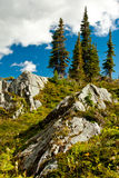 Subalpine Fir Royalty Free Stock Photos