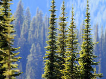 Subalpine Fir Trees in the Cascade Mountains Royalty Free Stock Photography