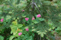 Subalpine spirea Spiraea densiflora Stock Image