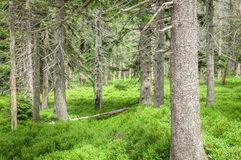 Subalpine vegetation including Forest with Bushes Royalty Free Stock Image