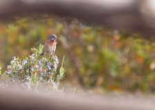 A Subalpine Warbler on Rosemary Royalty Free Stock Image