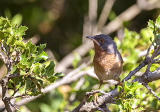 Subalpine Warbler in Shrubbery Royalty Free Stock Images