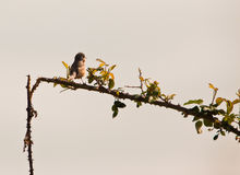 Subalpine Warbler singing to the sun Stock Photo