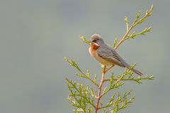 Subalpine warbler - Sylvia cantillans Royalty Free Stock Photography