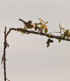 Subalpine Warbler on thorny bush Royalty Free Stock Images