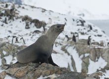 Subantarctic fur seal on a rock. Royalty Free Stock Photography