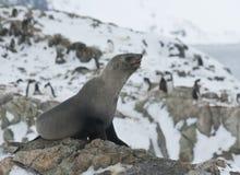 Subantarctic fur seal on a rock. Subantarctic fur seal on a rock against the penguins Royalty Free Stock Photography