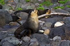 Subantarctische Pelsrob, Subantarctic Fur Seal, Arctocephalus tr royalty free stock photo