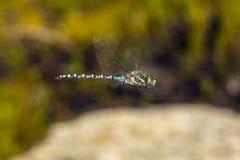 Subarktische verflixtere Libelle auf Mt Sunapee, New Hampshire Stockbild