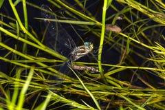 Subarktische verflixtere Libelle, die auf Mt ovapositing ist Sunapee, neues Hamps Lizenzfreies Stockfoto
