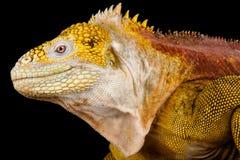Subcristatus di Conolophus dell'iguana terrestre delle Galapagos immagine stock libera da diritti