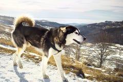 Suberian husky walking along a mountain slope Royalty Free Stock Photography