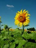 Subflower Imagem de Stock Royalty Free