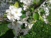Subgenus Prunus Royaltyfri Foto