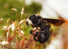 Subida de Bhanvra del indio (abeja de carpintero europea) en musgo Fotografía de archivo