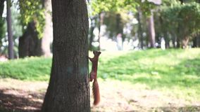 Subida de la ardilla roja en tres en el bosque almacen de metraje de vídeo