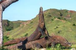 Subida del dragón de Komodo la cabeza y las aspiraciones el aire con su lengua bifurcada imagen de archivo libre de regalías