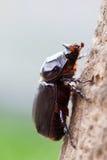 Subida del escarabajo de rinoceronte Foto de archivo