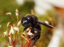 Subida europea de la abeja de carpintero en musgo Fotos de archivo libres de regalías
