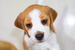 Subida linda del beagle del perrito para el juego Fotografía de archivo