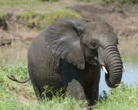 Subidas del becerro del elefante africano del río Foto de archivo libre de regalías